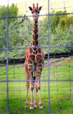 Domestic Giraffe Royalty Free Stock Photo