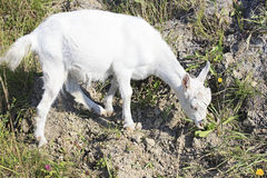 Domestic goat Royalty Free Stock Photos