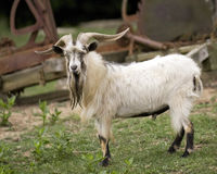 Domestic Goat Stock Image
