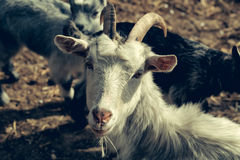 Domestic goat animal Royalty Free Stock Images