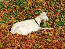 Domestic goat  in autumn Stock Photography