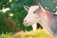 Domestic goat Royalty Free Stock Photography