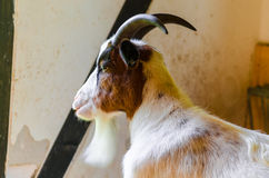 Domestic Goat,  Stock Photos
