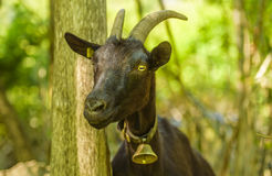 Domestic goat with bell at its neck royalty free stock photos