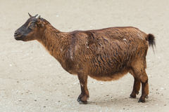 Domestic goat Capra aegagrus hircus. Royalty Free Stock Photo