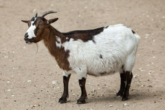 Domestic goat Capra aegagrus hircus. Royalty Free Stock Photography