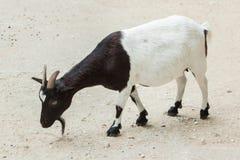 Domestic goat Capra aegagrus hircus. Farm animal Royalty Free Stock Image