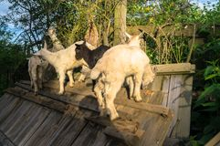 Several domestic goat kids, climbed on old broken wooden fence, Moscow suburbs, Russia. The domestic goat Capra aegagrus hircus is a subspecies of goat stock photos