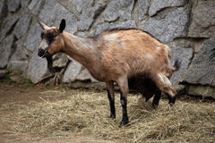 Domestic goat (Capra aegagrus hircus). Stock Photos