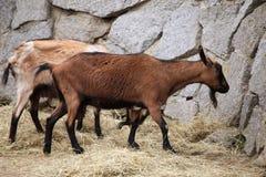 Domestic goat (Capra aegagrus hircus). Stock Image