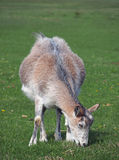 Domestic goat on Domestic goat on a pasture Stock Photo
