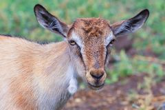 Portrait of a goat. The domestic goat is a domesticated animal, the species of cloven-hoofed animals of the genus is the mountain goat family of the Polorohidae Royalty Free Stock Images