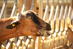 Domestic goat eating Royalty Free Stock Image