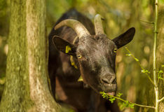 Domestic goat eating leaves royalty free stock photo
