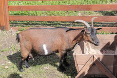 Domestic goat eating from the trough Royalty Free Stock Image