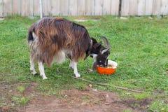 Domestic goat eats potato Royalty Free Stock Photos