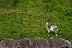 Domestic goat on the hills Royalty Free Stock Photo