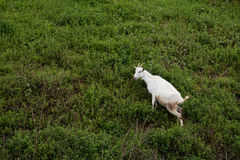 Domestic goat on the hills Stock Photography