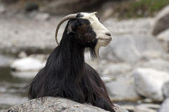 Domestic goat Royalty Free Stock Image