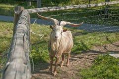 Domestic goat Stock Photos