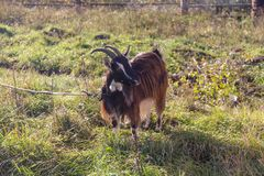 Domestic goat on a leash Royalty Free Stock Photo