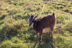 Domestic goat on the grass Royalty Free Stock Images