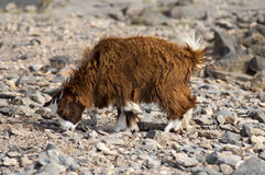 Domestic goat with a long brown goatskin Stock Images