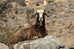 Domestic goat with a long brown goatskin Stock Photos