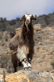 Domestic goat with a long brown goatskin Royalty Free Stock Photography