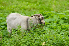 Domestic goat male Stock Photo