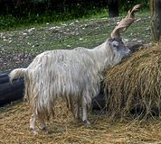 Domestic goat male 2 royalty free stock photography