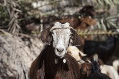 Domestic goat in Oman Stock Photos