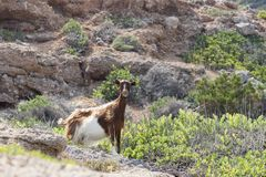 Free Domestic Goat On Crete Island, Greece Stock Images - 112488194