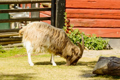 Domestic goat Royalty Free Stock Photo