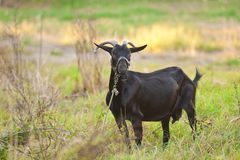 Domestic goat outdoor Royalty Free Stock Images