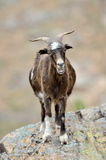 Domestic goat outdoor Stock Image