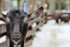 A domestic goat royalty free stock photography