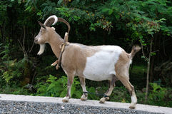 Domestic goat Royalty Free Stock Images