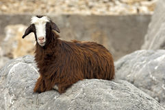 Domestic goat Stock Images