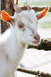 Domestic goatling Royalty Free Stock Image