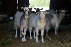 Domestic goats. Looking out from the barn Stock Photography