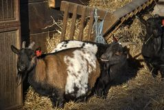 Domestic goats, or Capra hircus. Domestic goats Capra hircus eating hay Royalty Free Stock Photography