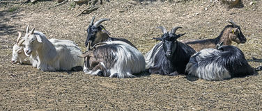 Domestic goats 1 Royalty Free Stock Photography