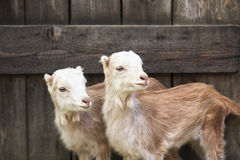 Domestic goats in the farm Royalty Free Stock Photos