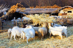 Domestic goats on field Stock Photo