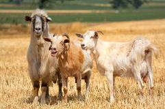 Domestic goats on field Stock Photography