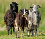 Domestic goats on field in spring Stock Images