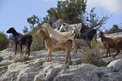 Domestic Goats Royalty Free Stock Photography