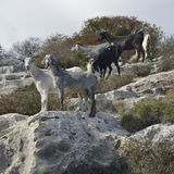 Domestic Goats Stock Photos