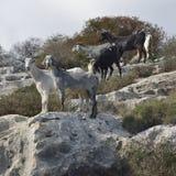 Domestic Goats Stock Photos